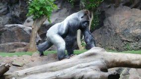 Изолированная горилла сток-видео