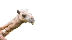 Изолированная голова верблюда Стоковые Изображения RF