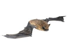 Изолированная летучая мышь Стоковые Изображения
