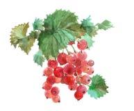 Изолированная еда красной смородины акварели Стоковые Фото