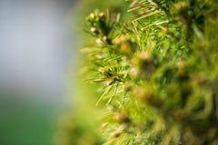 изолированная елью белизна вала Стоковые Изображения RF
