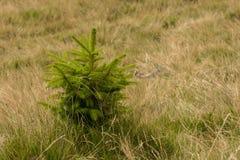 изолированная елью белизна вала Стоковая Фотография