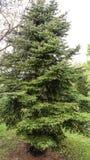 изолированная елью белизна вала Стоковое Фото