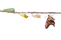 Изолированная замкнутая бабочка jay с chrysalis и гусеницей дальше Стоковое Фото