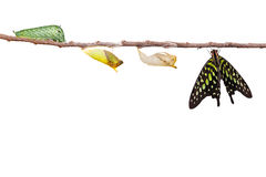 Изолированная замкнутая бабочка jay с chrysalis и гусеницей дальше Стоковое фото RF