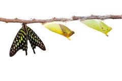Изолированная замкнутая бабочка jay с chrysalis и зреет на белизне Стоковое фото RF