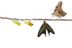 Изолированная замкнутая бабочка jay с chrysalis и зреет на белизне Стоковое Изображение