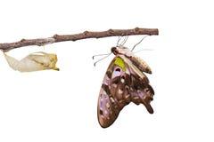 Изолированная замкнутая бабочка jay с chrysalis и зреет на белизне Стоковое Фото