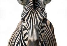 Изолированная зебра Стоковая Фотография RF