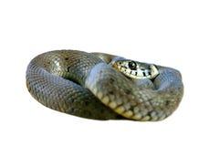Изолированная змейка травы Стоковое Изображение