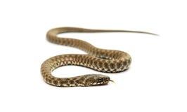 изолированная змейка Стоковое Изображение