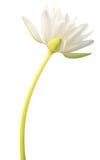 Изолированная лилия белой воды Стоковая Фотография RF