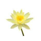 Изолированная лилия желтой воды Стоковая Фотография