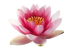 Изолированная лилия лотоса или воды Стоковое Фото