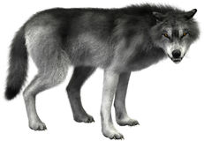 Изолированная иллюстрация, живая природа серого волка Стоковая Фотография RF