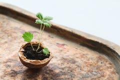 изолированная иллюстрация роста принципиальной схемы предпосылки 3d представила белизну Малые зеленые ростки в раковине грецкого  Стоковое Изображение RF