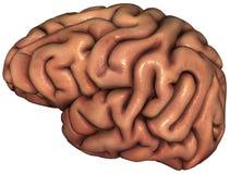 Изолированная иллюстрация человеческого мозга Стоковое фото RF