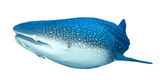 Изолированная китовая акула Стоковое Фото