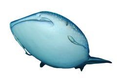 Изолированная китовая акула Стоковая Фотография