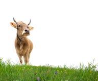 изолированная корова Стоковые Изображения