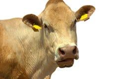 изолированная корова Стоковое Изображение