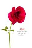 Изолированная красная роза Стоковые Изображения