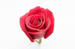 Изолированная красная роза Стоковые Фото