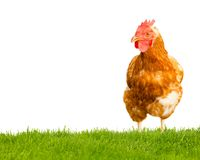 изолированная курица Стоковые Изображения