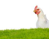 изолированная курица Стоковое Изображение RF