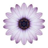 Изолированная мандала цветка маргаритки Osteospermum Kaleidoscopic Стоковое Фото