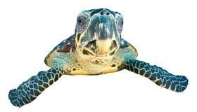 Изолированная морская черепаха Стоковое Изображение RF