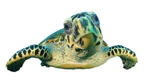 Изолированная морская черепаха Стоковое Изображение