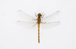 Изолированная муха дракона Стоковые Изображения RF
