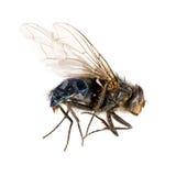изолированная муха Стоковое Фото