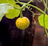 изолированная осенью белизна тыквы Стоковые Фотографии RF