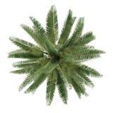 Изолированная пальма. Взгляд сверху chilensis Jubaea Стоковое Фото