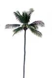 Изолированная пальма кокоса, Стоковые Фотографии RF