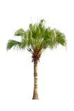 Изолированная пальма Стоковое Изображение
