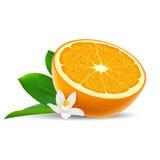 Изолированная покрашенная половина сочного апельсина с белым цветком, зелеными лист и тенью на белой предпосылке реалистическо бесплатная иллюстрация