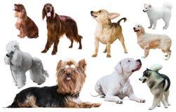 Изолированная порода собаки Стоковая Фотография