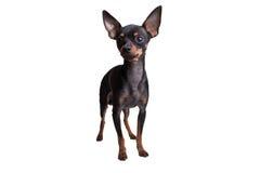 изолированная предпосылкой белизна игрушки terrier Стоковые Фото