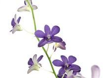 изолированная предпосылкой белизна орхидеи пурпуровая Стоковая Фотография RF