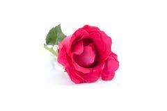 изолированная предпосылкой белизна розы красного цвета Стоковые Изображения