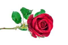 изолированная предпосылкой белизна розы красного цвета Стоковое Изображение RF