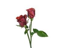 изолированная предпосылкой белизна розы красного цвета Стоковое Изображение
