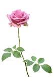 изолированная предпосылкой белизна розы пинка Стоковое Фото