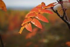 изолированная предпосылкой белизна рябины листьев Стоковое Фото