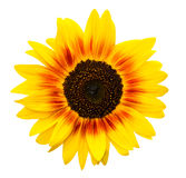 изолированная предпосылкой белизна солнцецвета Используют подсолнечник или солнцецветы как кормовые растения Солнцецветы популярн Стоковое Фото