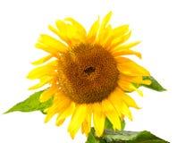 изолированная предпосылкой белизна солнцецвета Солнцецвет с листьями Стоковая Фотография RF