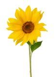 изолированная предпосылкой белизна солнцецвета Стоковое Изображение